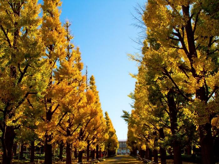 慶應大日吉キャンパス銀杏並木